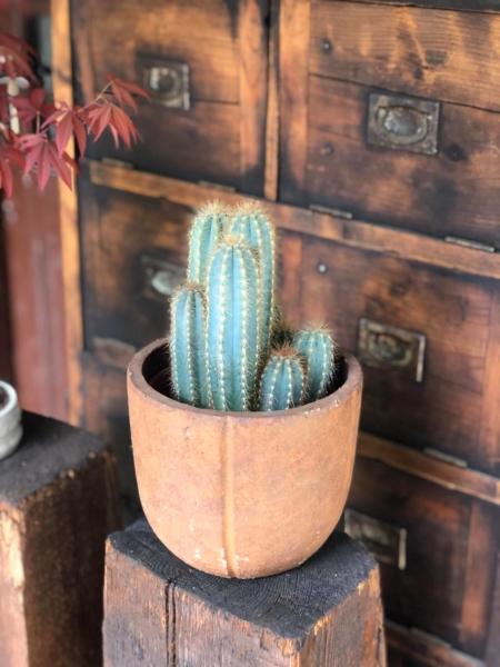 Cactus Coloană natural cu ghiveci