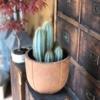 Cactus Coloană natural cu ghiveci2