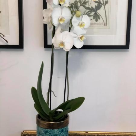 Orhidee albă Phalaenopsis cu vas inclus