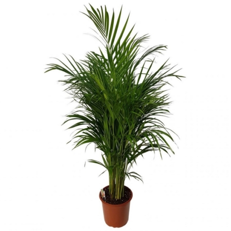 Palmier de interior Areca Premium