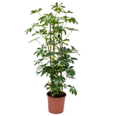 Plantă de apartament Schefflera - Arborele Umbrelă