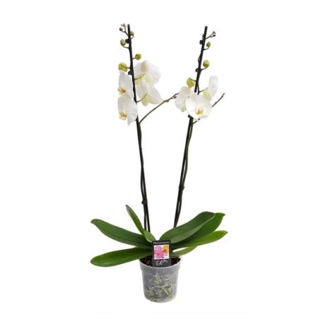 Plantă exotică cu flori Orhidee Phalaenopsis