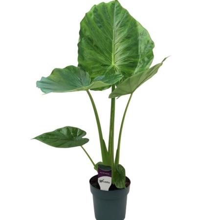 Plantă naturală Alocasia Calidora Urechea-Elefantului