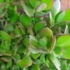 Plantă naturală Crassula - Arborele de Jad