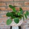 Plantă naturală Pilea peperomioides Money Penny