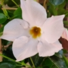 Plantă naturală Mandevilla albă - Iasomie braziliană