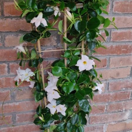 Plantă-naturală-cu-flori Mandevilla Iasomie Braziliana