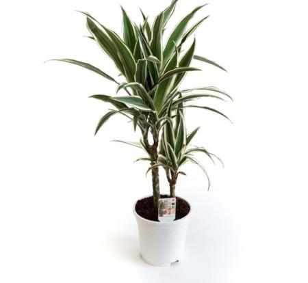 Plantă naturală tropicală Dracena White Stripe