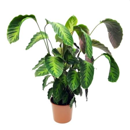 Planta Păun Calathea extra mix
