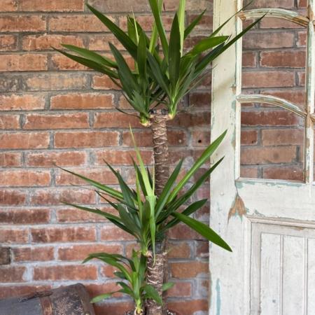 Plantă naturală exotică Yucca
