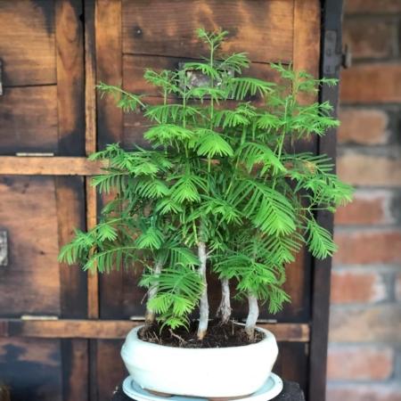 Bonsai Metasequoia cu vas de ceramică