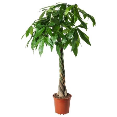 Arborele norocos Pachira Aquatica