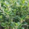 Arbust natural peren Euonymus jap Pierrolino