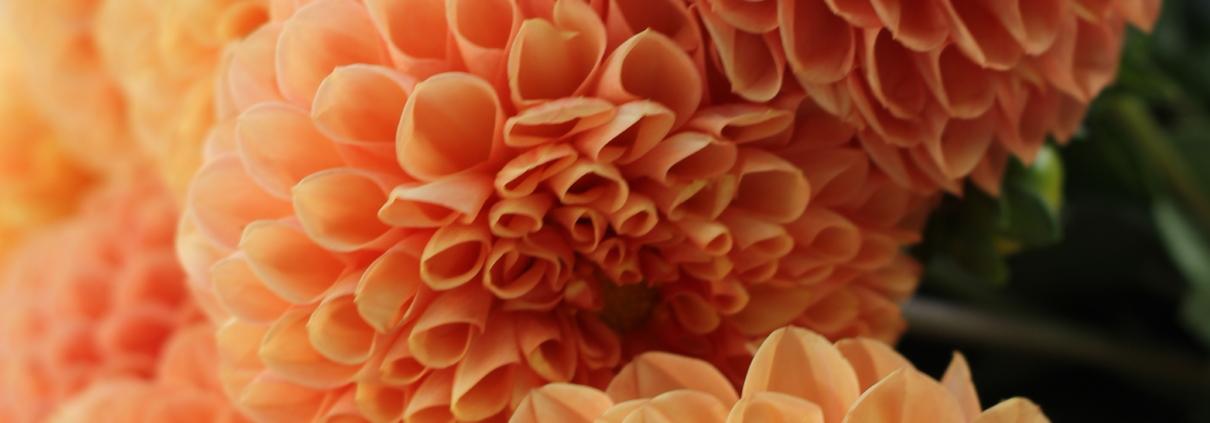 Dalia floare de toamnă
