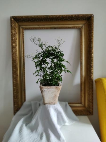 Iasomie la ghiveci Jasminum Polyanthum