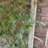 Ficus Benjamin bicolor enrose