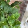 pothos epipremnum aureum